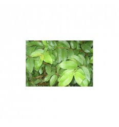 100G - Dried leaves of guava